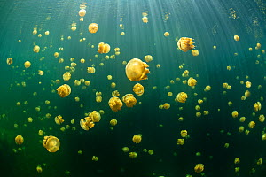 Aggregation of stingless golden jellyfish (Mastigias sp.) in a landlocked marine lake in the middle of an island. Their golden colour comes from endosymbiotic algae, which provide nutrition for the me...  -  Alex Mustard