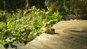 Honey bees (Apis mellifera) arriving and taking off at hive entrance in garden, Bristol, UK, April.  -  John Waters