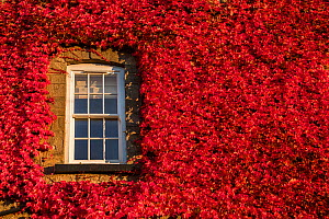 Virginia creeper vine (Parthenocissus quinquefolia) growing over house wall, round window, Monmouthshire, Wales, UK, October.  -  Phil Savoie