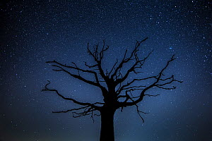 English Oak (Quercus robur) silhouetted against night sky and stars, Brecon Beacons National Park, International Dark Sky Preserve, Monmouthshire, Wales, UK, February.  -  Phil Savoie