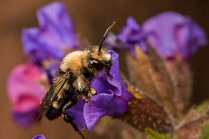 Mourning bee (Melecta albifrons) a kleptoparasite of the Hairy-footed flower bee (Anthophora plumipes), visiting Lungwort (Pulmonaria officinalis), native pollinator, Monmouthshire, Wales, UK, wild po...  -  Phil Savoie