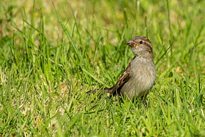 House sparrow (Passer domesticus), with Fly in bill, Monmouthshire, Wales, UK, May  -  Phil Savoie