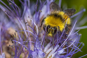 Early Bumblebee (Bombus partorum), male bee with characteristic yellow face, harvesting Lacy Phacelia (Phacelia tanacetifolia), aka Blue Tansy, Purple Tansy, Monmouthshire, Wales, UK, native pollinato...  -  Phil Savoie