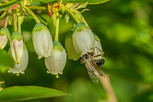 Mining Bee (Andrena sp.) pollinating cultivated Northern hughbush blueberry (Vaccinium corymbosum), Wisconsin USA, May.  -  Phil Savoie