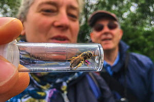 Woman looking at mining bee (Andrenidae) in container at Bug Life Bee ID Field class, Monmouthshire, Wales, UK, June.  -  Phil Savoie