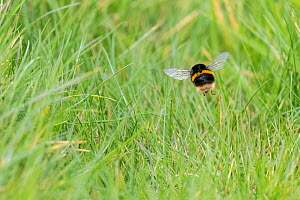 Buff-tailed bumblebee (Bombus terrestris) queen searching nest site, Monmouthshire, Wales, UK, April.  -  Phil Savoie