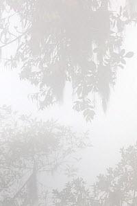 Cloud forest in the fog, El Triunfo Biosphere Reserve, Chiapas, southern Mexico, May  -  Claudio Contreras