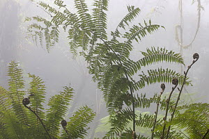 Fern and liana, cloud forest in the fog, El Triunfo Biosphere Reserve, Chiapas, southern Mexico, May  -  Claudio Contreras