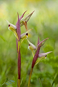 Eastern tongue orchid (Serapias orientalis var. siciliensis), Sortino, Sicily, April.  -  Lorraine Bennery