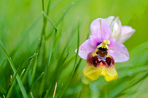 Large flowered sawfly orchid (Ophrys grandiflora), Buccheri, Sicily, April.  -  Lorraine Bennery