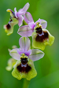 Large flowered sawfly orchid (Ophrys grandiflora), Sortino, Sicily, April.  -  Lorraine Bennery