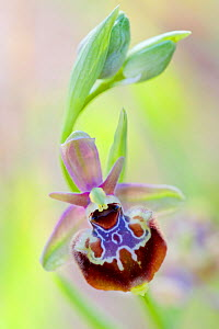 Orchid (Ophrys linearis) Martigues, Bouches-du-Rhone, France, April.  -  Lorraine Bennery