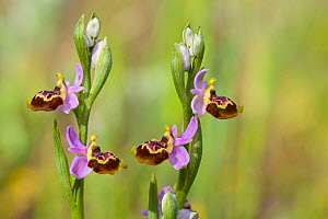Orchid (Ophrys linearis) Martigues, Bouches-du-Rhone,France, April.  -  Lorraine Bennery