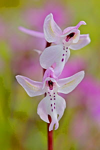 Antolian orchid (Orchis anatolica) Kannavia, Cyprus, March.  -  Lorraine Bennery