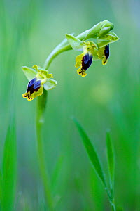 Orchid, (Ophrys galilea) Larnaca, Cyprus.  -  Lorraine Bennery