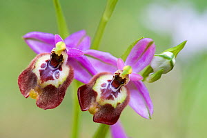 Elegant spider orchid (Ophrys calliantha), Sortino, Sicily, April.  -  Lorraine Bennery