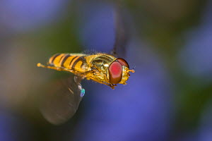 Banded hoverfly (Syrphus ribesii), in flight, Monmouthshire, Wales, UK, July.  -  Phil Savoie