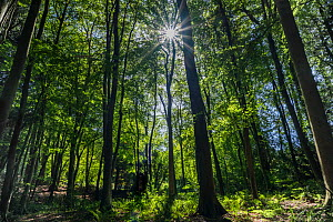 Deciduous forest with sunlight shining through trees, Monmouthshire, Wales, UK. September.  -  Phil Savoie