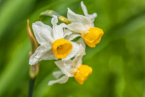 Dwarf narcissus (Narcissus canaliculatus), Monmouthshire, Wales, UK, March.  -  Phil Savoie