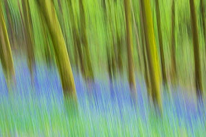 Common bluebell (Hyacinthoides non-scripta), in flower, Beech tree woodland (Fagus sylvatica) with intentional camera movement, Monmouthshire, Wales, UK, April  -  Phil Savoie