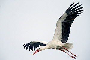 RF - Stork (Ciconia ciconia) in flight, near Biebrza National Park, Poland. April. (This image may be licensed either as rights managed or royalty free.)  -  Pal Hermansen