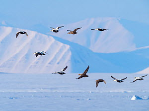 RF - Eider duck (Somateria mollissima) flock in flight over snow. Isfjorden, Svalbard, Norway. April 2018. (This image may be licensed either as rights managed or royalty free.)  -  Pal Hermansen