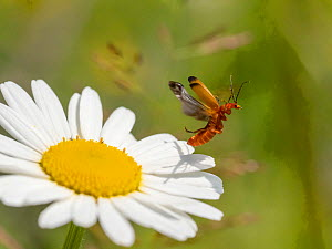 RF - Longhorn beetle (Leptura sp) taking off from Oxeye daisy (Leucanthemum vulgare) flower. Akershus, Viken, Norway. July. (This image may be licensed either as rights managed or royalty free.)  -  Pal Hermansen