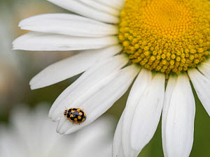 RF - 14-spotted ladybird (Propylea quatuordecimpunctata) on Oxeye daisy (Leucanthemum vulgare). Akershus, Viken, Norway. July. (This image may be licensed either as rights managed or royalty free.)  -  Pal Hermansen