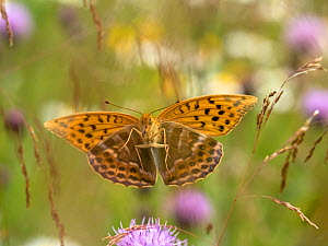 RF - Silver-washed fritillary butterfly (Argynnis paphia) in flight amongst wildflowers and grasses. Akershus,  Norway. July. (This image may be licensed either as rights managed or royalty free.)  -  Pal Hermansen