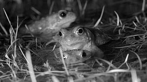 Male Natterjack toads (Epidalea calamita) competing to mate with female, Cuenca, Spain, March. Filmed at night using an infrared camera.  -  David Perpinan