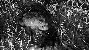 Pair of Natterjack toads (Epidalea calamita) mating, interrupted by another male mounting the pair in an attempt to mate, Cuenca, Spain, March. Filmed at night using an infrared camera.  -  David Perpinan