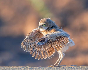 Burrowing owl (Athene cunicularia) chick in its second week out of the burrow, testing its wings, Sonoran Desert, Arizona, USA . May.  -  Jack Dykinga