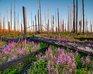 Fireweed (Epilobium angustifolium) in flower, after Wallow forest fire, Apache-Sitgreaves National Forest, Arizona, USA. August.  -  Jack Dykinga
