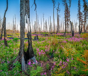 Fireweed (Epilobium angustifolium) in flower, and Bracken, and charred wood after Wallow forest fire, Apache-Sitgreaves National Forest, Arizona, USA. August.  -  Jack Dykinga