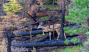 Mule deer (Odocoileus hemionus) in burnt forest, after Wallow Fire, Apache-Sitgreaves National Forest, Arizona, USA, August  -  Jack Dykinga