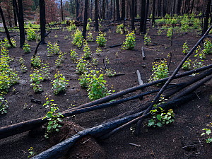 Aspen saplings growing in burnt forest after Wallow fire, Apache-Sitgreaves National Forest, Arizona, August.  -  Jack Dykinga