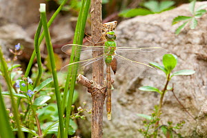 Emperor dragonfly (Anax imperator) newly emerged adult hangs from exuvia, Bristol, UK, May  -  Michael Hutchinson