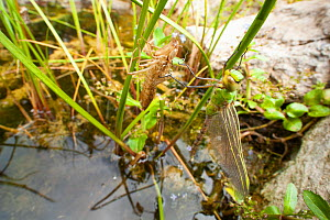Emperor dragonfly (Anax imperator) newly emerged adult hangs next to exuvia above garden pond, Bristol, UK, May  -  Michael Hutchinson