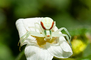 Flower crab spider (Misumena vatia) female with red and green stripes, on Saxifraga flower, Bristol, UK, May  -  Michael Hutchinson