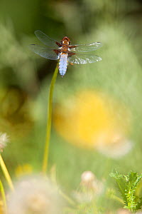 Broad-bodied chaser dragonfly (Libellula depressa) perched on dandelion stem in meadow, Bristol, UK, May  -  Michael Hutchinson