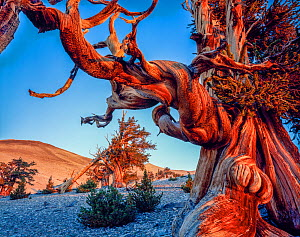Ancient Bristlecone Pine Forest with twisted limbs of Bristlecone pine (Pinus longaeva) at dawn on the White Mountains, Inyo National Forest, California, USA.  -  Jack Dykinga