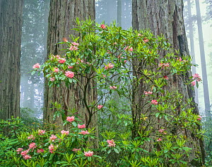 Old growth forest with flowering Rhododendron (Rhododendron macrophyllum) in front of trunks of Redwood trees (Sequoia sempervirens) with fog, Del Norte Coast Redwoods, California, USA.  -  Jack Dykinga