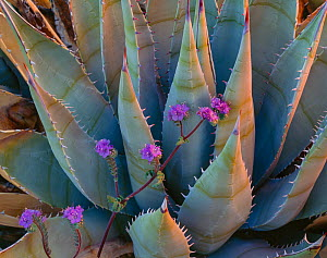 Agave (Agave desertii) with blooming wild heliotrope (Phacelia distans) amid leaves, Anza Borrego State Park, California, USA.  -  Jack Dykinga
