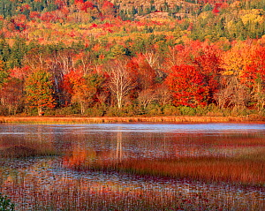 Seal Cove Pond autumn reflections from confers, maples and birch, Acadia National Park, Maine, USA.  -  Jack Dykinga