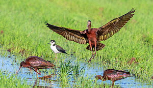 White-faced ibis (Plegadis chihi) and Black-necked stilt (Himantopus mexicanus) foraging in flooded fields. Marana, Sonoran Desert, Arizona, USA. March.  -  Jack Dykinga