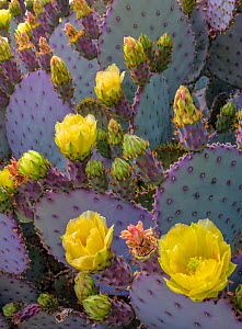 Santa Rita prickly pear cactus ( Opuntia santarita), with newly emerged buds and flowers with mature spines and bright purple and green colouring. Sonoran Desert, Arizona,USA. April.  -  Jack Dykinga