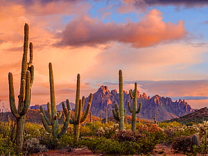 Stands of Chain cholla cactus with Saguaro cacti (Carnegiea gigantea), with Ragged Top Mountain in the Silverbell Range dominating the horizon at sunset after late spring storm. Ironwood National Monu...  -  Jack Dykinga