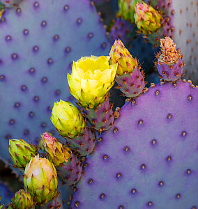 Santa Rita Pricly Pear cactus ( Opuntia santarita), with newly emerged buds and flowers with immature spines and bright purple and green coloring. Sonoran Desert, Arizona  -  Jack Dykinga