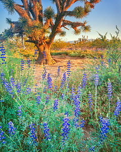Joshua Trees (Yucca brevifolia) of the Mojave Desert at dawn encircled with flowering lupines. (Lupinus sp,) Mohave County, Castaneda Wash, Arizona, USA.  -  Jack Dykinga