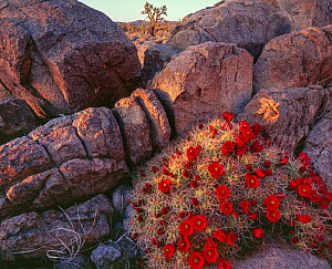 Mound cactus (Echinocererus triglochidiatus var. mojavensis) flowering at sunset with Joshua tree (Yucca brevifolia) in distance, Mojave Trails National Monument California, USA.  -  Jack Dykinga